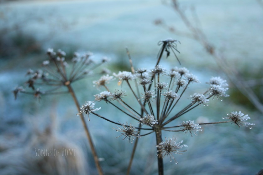 project 1/365 - frozen flower