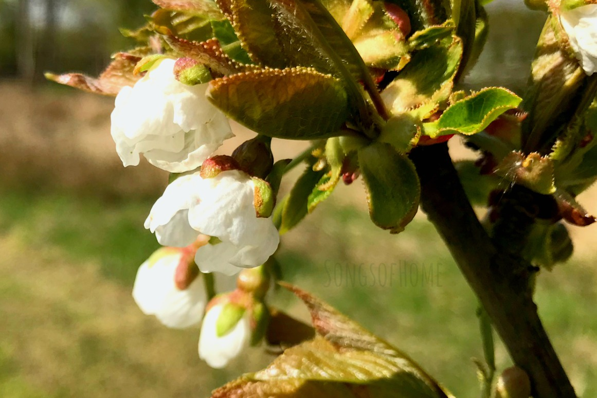apple blossoms in white and green